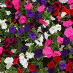 What Are The Optimal Temperatures For Growing Petunias In A Polytunnel? 3 Bonus Tips!