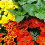 When Can I Begin Growing Marigold Seeds In A Polytunnel? 4 Proven Advice!