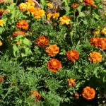 When Can I Start Growing American Marigold Seeds In A Polytunnel In Surrey? Video Download!