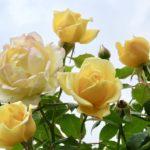 When Do Roses Bloom In England? Explainer!