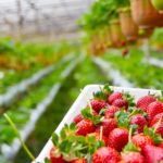 When To Plant Strawberries In the UK? Explainer for Beginners!