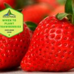 When To Plant Strawberries In Scotland? Explainer For Beginners!