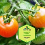 When To Plant Tomatoes In Polytunnel In England? 5 Free Tips!