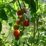When To Start Growing Tomatoes In Polytunnel? 2 More Advice!