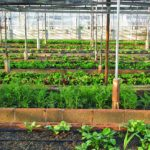When To Start Growing Vegetables In A Polytunnel? 5 Efficient Tips!