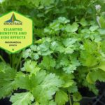 Example Of Cilantro Benefits And Side Effects! 4 Proven Advice!