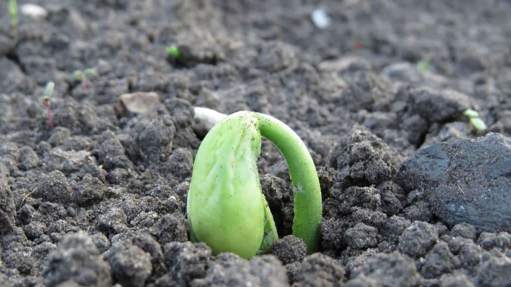 how is the best way to grow pole beans in pots in a small greenhouse