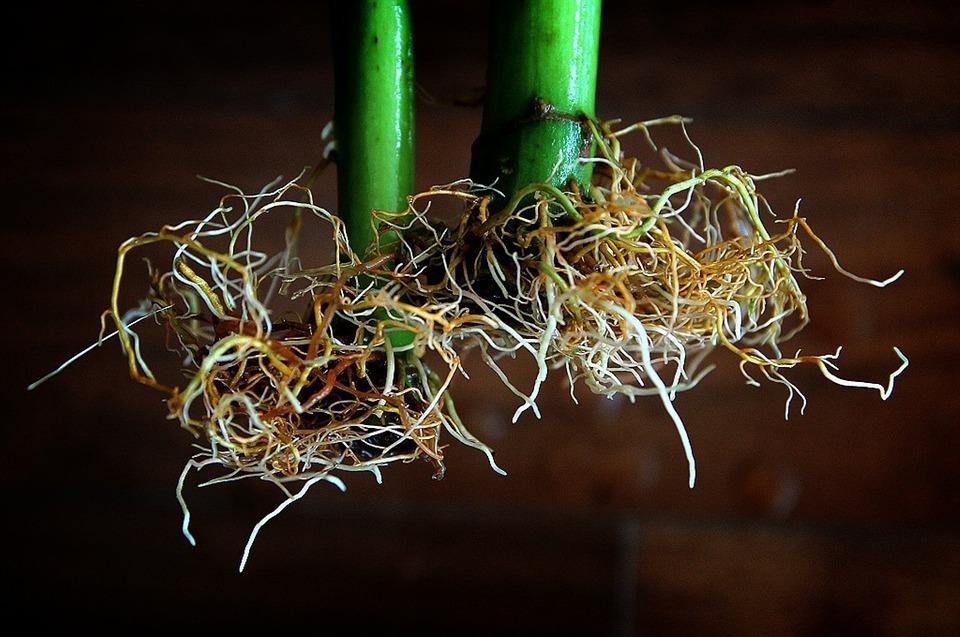 how to fix root rot hydroponics