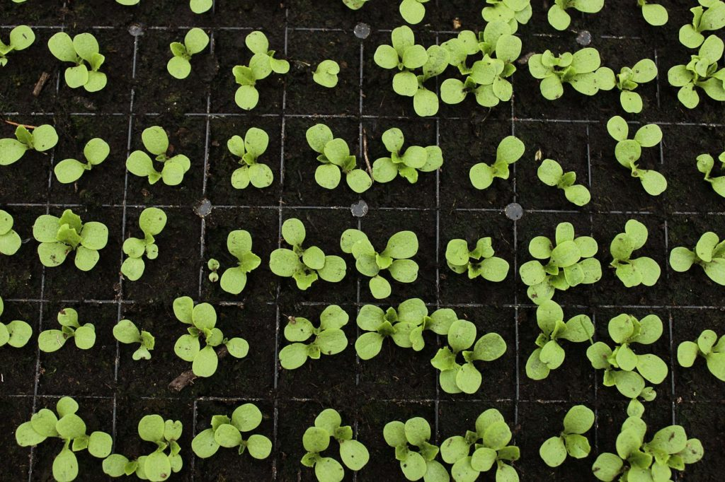 when to harvest baby greens small greenhouse