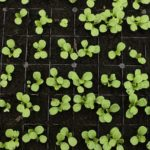 When To Harvest Baby Greens Small Polytunnel? 3 Proven Tips!