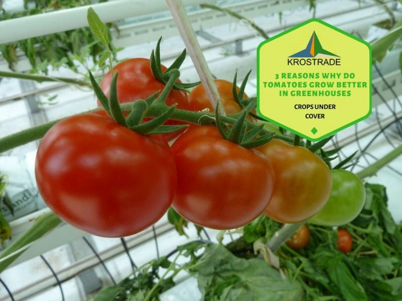 3 Reasons Why Do Tomatoes Grow Better In Greenhouses