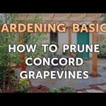 How to Prune Concord Grapevines? 4 Special Tips!