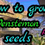 How To Grow Penstemon From Seed? 3 Easy Steps!