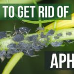 How To Remove Aphids From Kale? 4 Essential Tips!
