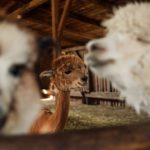 Free Guide Of How To Wash Alpaca Wool Blanket? 4 Special Steps!